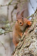 Red Squirrel on larch tree 5. Jan '20.