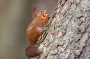 Red Squirrel on larch tree 4. Jan '20.