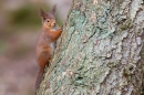 Red Squirrel on larch tree 2. Jan '20.