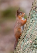 Red Squirrel on larch tree 1. Jan '20.