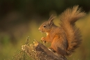Bushy Tailed Red Squirrel.