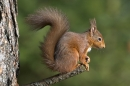 Red Squirrel at end of pine branch.