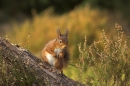 Red Squirrel on pine and heather.