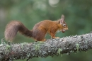 Red Squirrel with hazel nut.