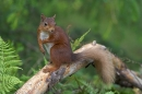 Red Squirrel on fallen pine branch.