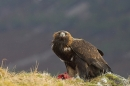 Golden Eagle with prey,in the rain.