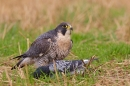 Peregrine with pigeon prey 3. Sept. '16.