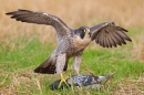 Peregrine with pigeon prey 1. Sept. '16.