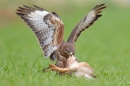 Common Buzzard ripping into brown hare prey. Apr '17.
