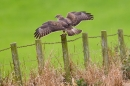 Common Buzzard landing on post. Oct. '17.