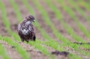 Common Buzzard hunting for worms 5. Jan '20.