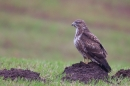 Common Buzzard hunting for worms 4. Jan '20.