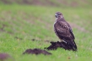 Common Buzzard hunting for worms 3. Jan '20.