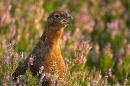 4.Red Grouse,close up and calling,in heather. Sept '10.