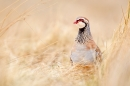 Red legged Partridge in grasses. Mar.'16.
