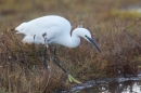 Little Egret hunting. Dec. '16.