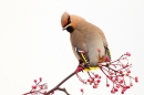 Waxwing on rowan 4. Jan. '17.