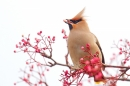 Waxwing on rowan 3. Jan. '17.