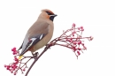 Waxwing on rowan 2. Jan. '17.