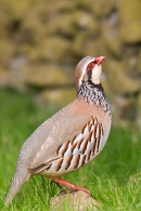 Red legged Partridge about to leap. May '17.