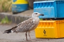 Young Herring Gull with fish crates. Feb '19.