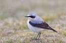 Northern Wheatear. Apr '19.