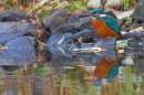 Female Kingfisher with fish and reflection 1. Nov. '19.