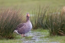 Greylag Goose in a puddle. Mar '20.