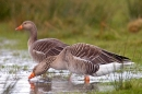 2 Greylag Geese in a puddle,in the rain. Mar '20.
