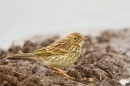 Meadow Pipit juvenile. July '20.