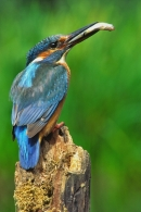 Alcedo atthis with prey.