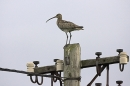 Curlew on electricity pole.
