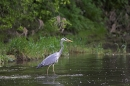 Grey Heron in river.