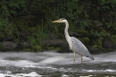Grey Heron in slow motion river.