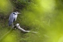 Grey Heron thru foliage.