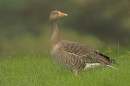 Greylag Goose,looking back.