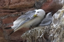Kittiwake and young.