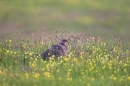 Female Pheasant in buttercups.