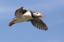 Puffin in flight.