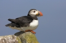 Puffin,sat on rock.