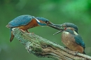 Adult Male Kingfisher feeds youngster.