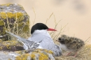 Arctic Tern on nest with chick. Jun '10.