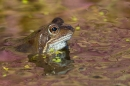 Frog in heather reflected spawn.Mar '17.