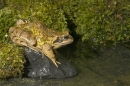 Frog at pool 1. Aug '10.