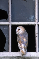 Barn Owl in window.
