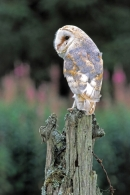 Barn Owl on barbed wire post.