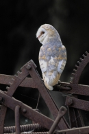 Barn Owl on old plough.