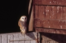 Barn Owl on stable door.