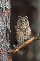 Long Eared Owl on pine branch.