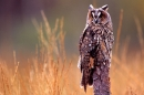 Long Eared Owl in grasses.
